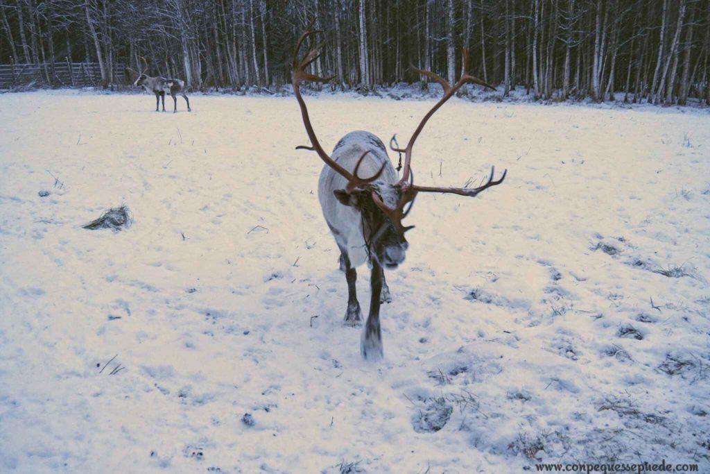 Un reno en el prado nevado